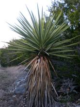 Is There Really A Walking Cactus Freaky Phenomena
